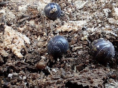 樹皮を剥がすと、ダンゴムシがポロポロと。どの木にもたくさん棲みついていた。