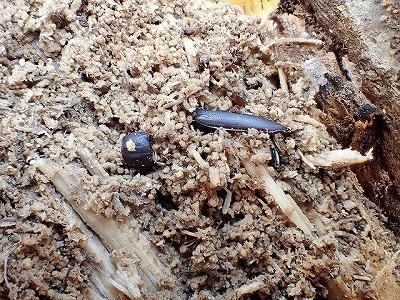ユミアシゴミムシダマシの成虫らしき死骸が。ホダ木の中でも厳しいサバイバルが人知れず繰り広げられているのだ。