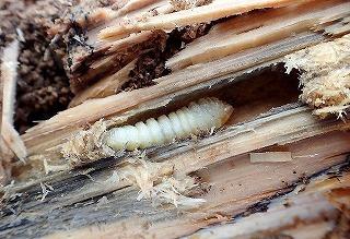 カミキリムシの幼虫。これもやはり新しい木から二匹のみ。こいつおいしいんだよなあー。