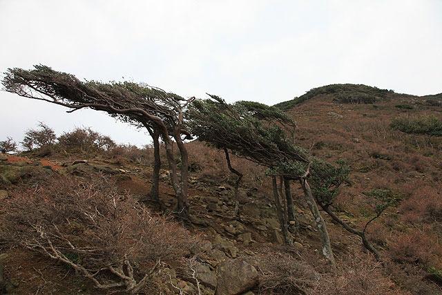 この日は無風だったが、いつもは常に強風が吹いている、ということを物語っている木々。
