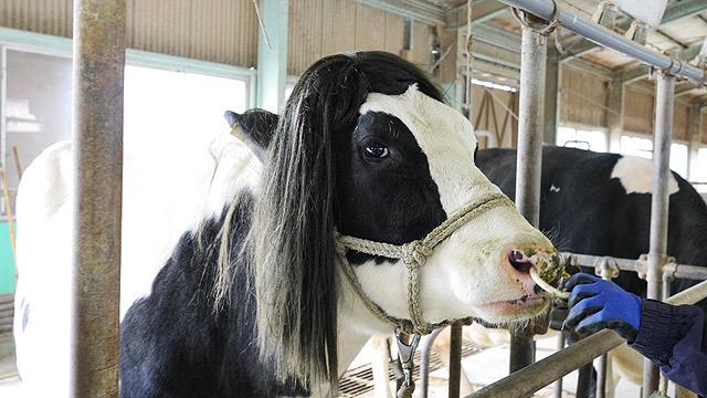 サラサラヘアーを手に入れた牛