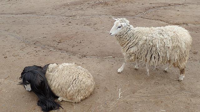 憧れてか、他の羊もやってくる