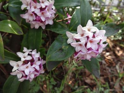 NHKの前の沈丁花も咲いていた。いいにおい。