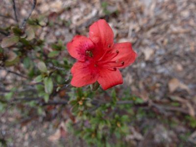 狂い咲きしていたツツジ。きみきみ、きみは5月あたりに咲く花だよ。