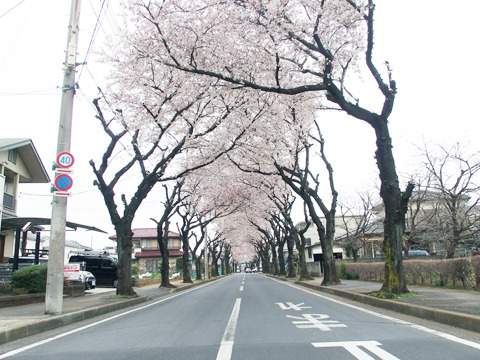 5分咲きの桜に癒されつつ