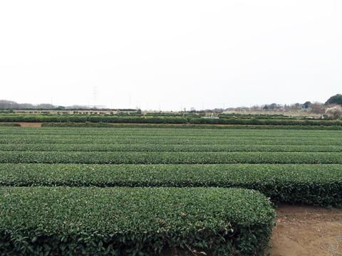 どこまでも広がる茶畑