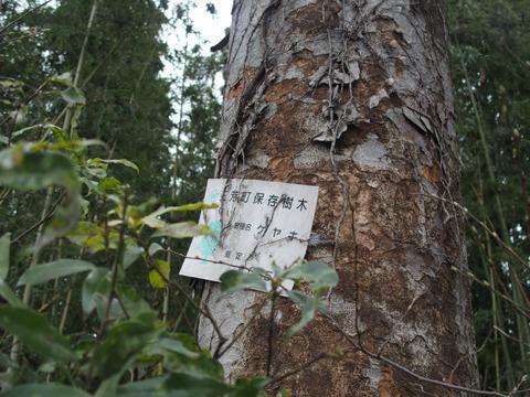 高さ10m以上、幹周り1.2m以上の樹木は町の保存樹木に指定され、手厚く保護されている