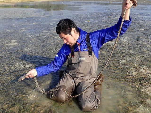 水上に持ち上げると体内に蓄えている水が絞り出されて紐のように細くなる。乱暴に扱うと簡単に千切れてしまうので要注意。
