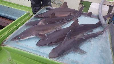 ちなみに余談だが、もう少し浅場(水深200~300m)でよく釣れるフトツノザメという種類の肝臓は腹の中に占める割合が小さく、