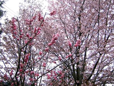 仙台堀川公園は地元の方のお花見スポットでもある模様 (写真はこちらから</a>)