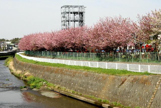ちょうど八重桜が見ごろだった