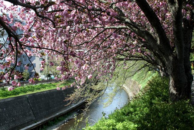 湘南台のあたりは、地元の人しか知らないであろう超ローカルな桜スポット