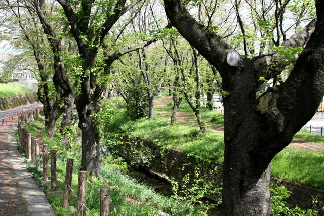 桜ヶ丘にある桜並木。新緑が爽やかで気持ち良い