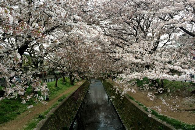 大和市屈指の桜スポットらしく、4月上旬はこんな感じ