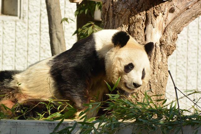 パンダのイメージ。ササ、白黒、かわいい、中国……ぐらいしかないな