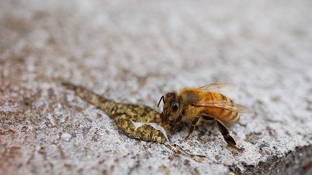 これがミツバチです!