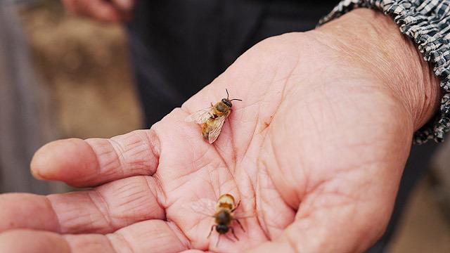 これが雄のミツバチ