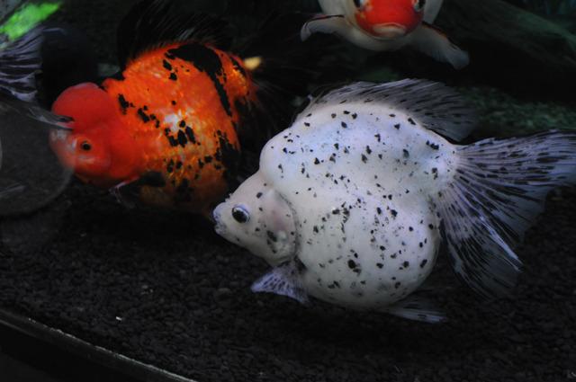 金魚と犬は、同じ種族としてまとめられてるヤツラの形態が違いすぎると思う。