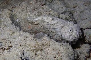 潮溜まりには石そっくりなオニダルマオコゼもいた。背びれのトゲに毒があるので沖縄で磯歩きをする際は気をつけよう。