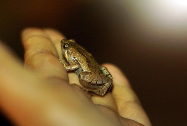 ヒメアマガエル。日本最小のカエル。