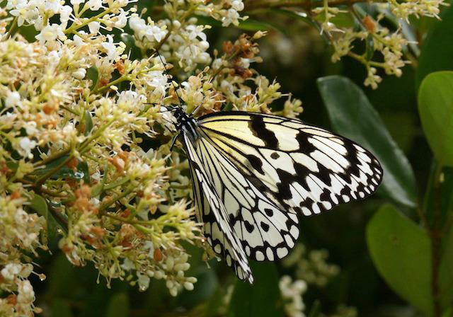 黄金に輝く繭を作る蝶、オオゴマダラ。