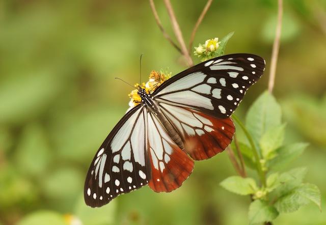 1000km以上を飛んで移動する「渡り蝶」アサギマダラ。