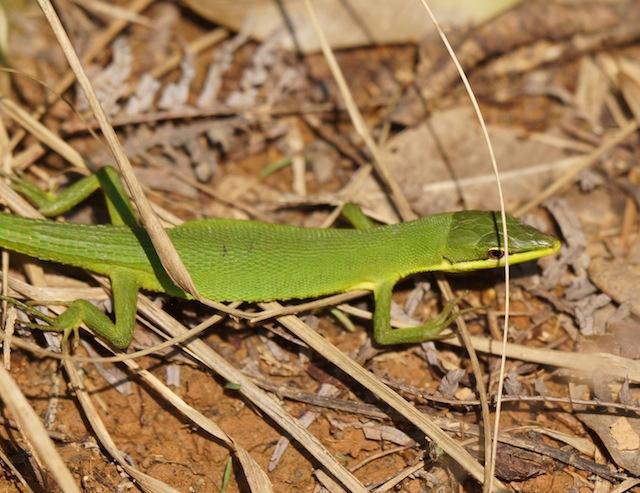 緑の矢のごときスピードで横切っていたサキシマカナヘビ。