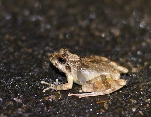 リュウキュウカジカガエルかな?詳細不明。小さくてかわいい。