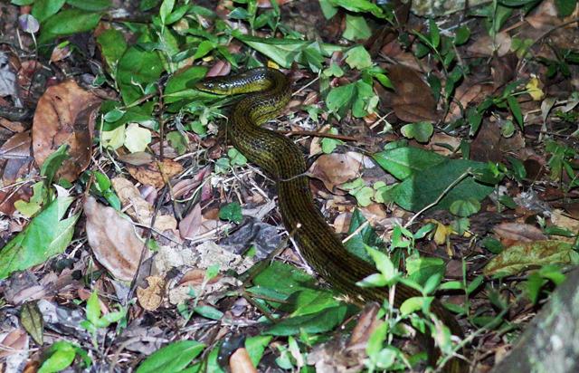 サキシマアオヘビも姿をあらわした!