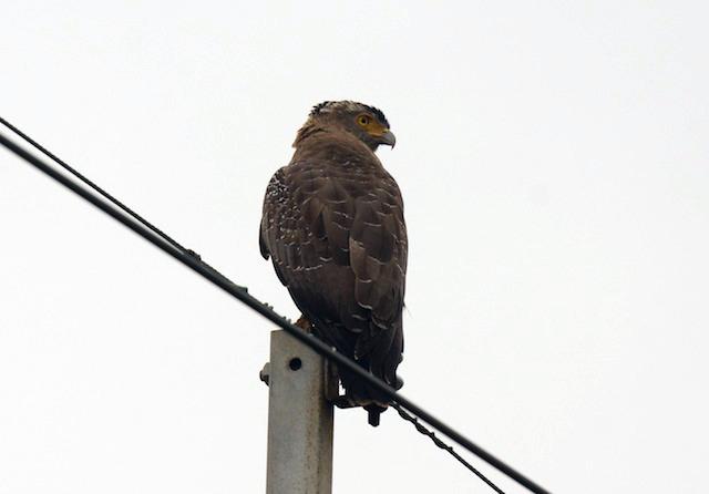 石垣市の市鳥カンムリワシ、かっこいい。ハブまで飛んでけ。