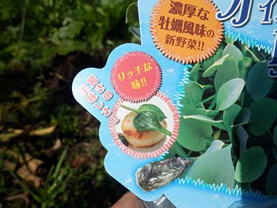 「濃厚な牡蠣風味の新野菜」であり、「リッチな味」らしい。乗せられたホタテの気持ちは如何に。