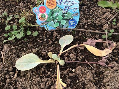 植えてから約二か月、マイナス成長続きである。