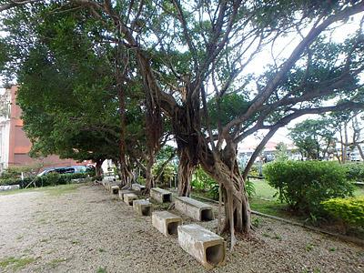 これがガジュマルの木。そこらじゅうに生えてます。