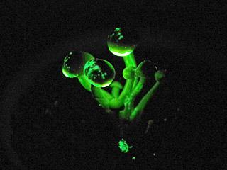 ブナシメジにサイリウム(折ると光るやつ)の中身を掛けてみたが、やっぱりヤコウタケの方が美しいな。