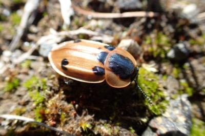 エゾハルゼミと同じネコヤナギの木によくいたヨツモンヒラタシデムシ。シデムシは一般的に地面に転がる動物の死骸を食べるが、こちらは木の上で虫を捕まえて食べる変わり種。