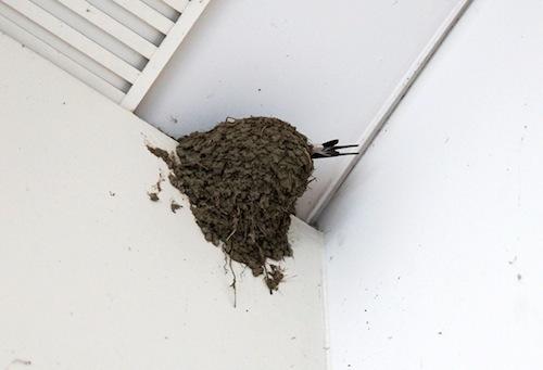 きれいな形の巣。親鳥が中でもぞもぞ動いている。かえったばかりのヒナがいるかもしれないとの事。