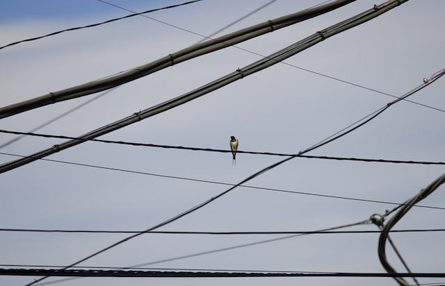 交錯する電線の中での佇まいがかっこいい。
