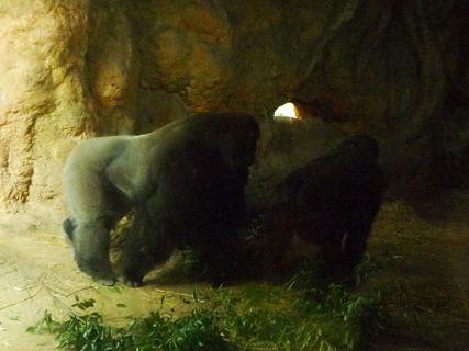 真っ暗ゴリラ。(上野動物園)