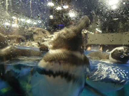 なんだこりゃとよく見たらペンギンでした。(すみだ水族館)