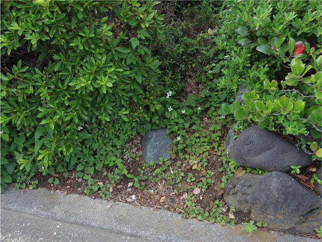 植え込みと植込みの間の雑草スポットが……