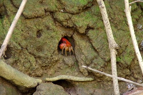 穴に住んでいたのはアカテガニでした。クリスマス島のアカガニほどではないけどたくさんいるよ。
