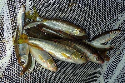 手当たり次第に掬った雑魚のアソート。実は、この中にも表題の「学名:雑魚」は紛れ込んでいる。