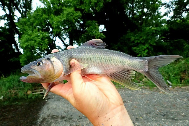 これが「おいしい魚」ことハス。シルエットやカラーリングはオイカワに似ているが…。