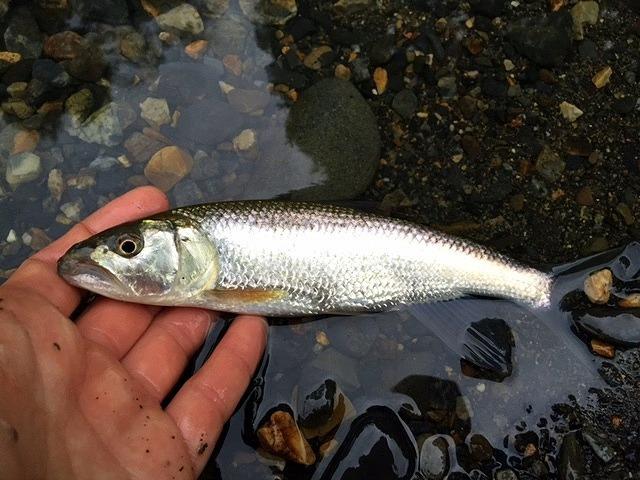 ようやく釣れた雌は全身銀一色。