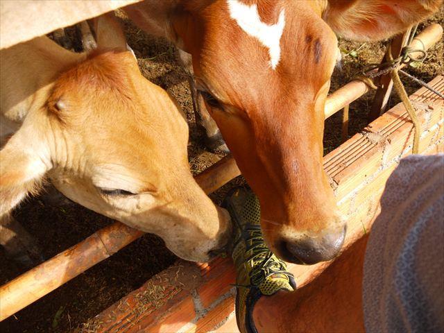 これまで牛に触れ合ったことはないが、意外に犬みたいな動きをするんだな。