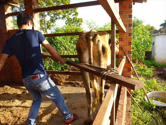 まずは乳を出す母牛の、花子だけを隔離。