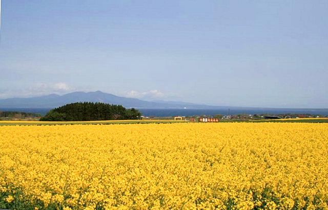 菜の花の見頃は5月。町が補助して農家に作付けしてもらっている