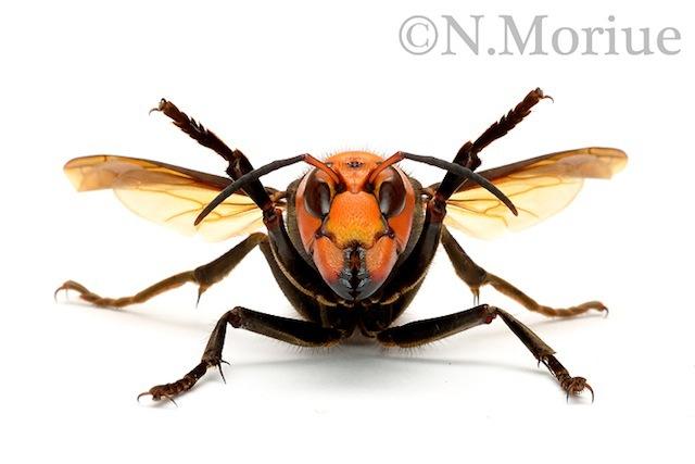 森上さん撮影。目が合うだけで謝りたくなるオオスズメバチ