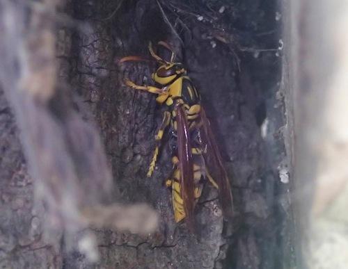 キアシナガバチ!