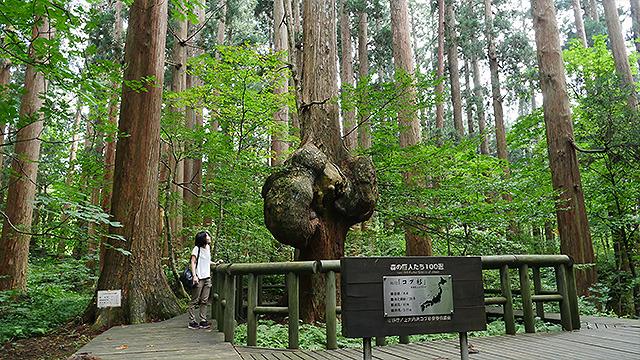 これが「コブ杉」。もののけ姫のシシ神さまが出てきそうな場所にある。